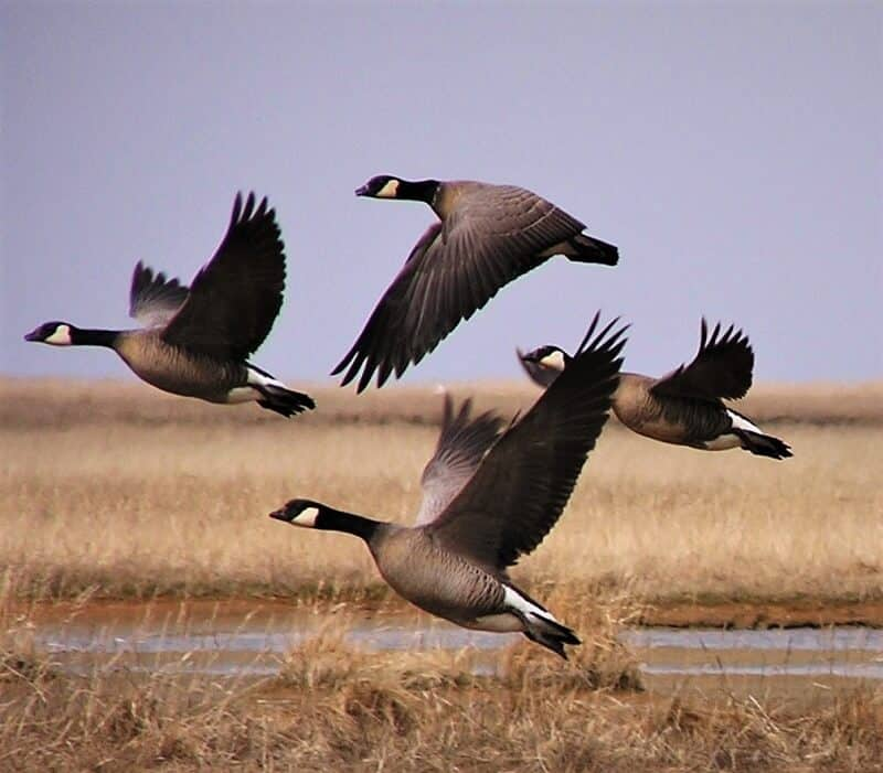 d8943db2b9 Find Your Hunt by Waterfowl Species