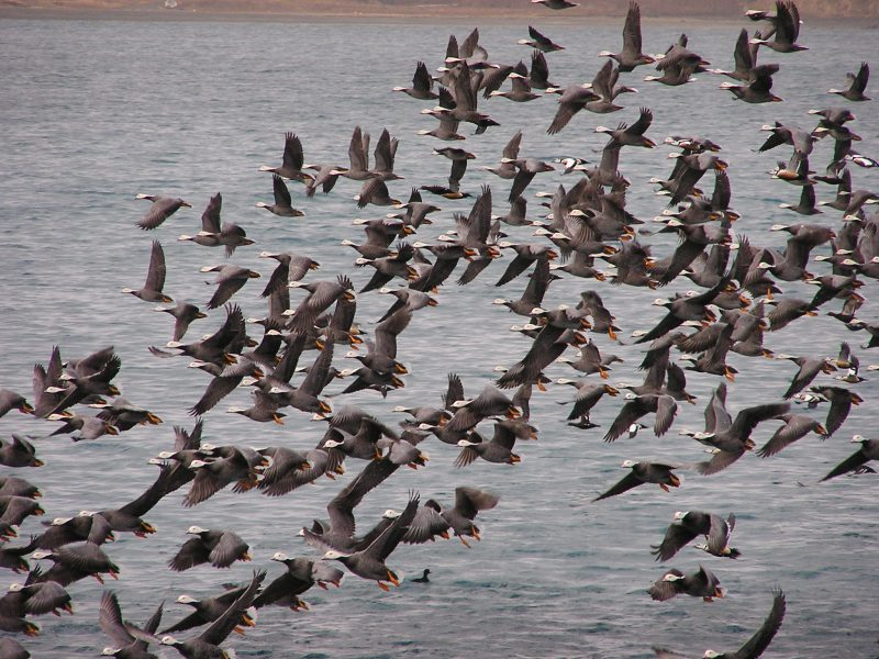 Flock of Emperor Geese - can you spot the Stellar's Eiders?